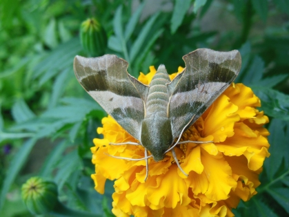 camoflage moth